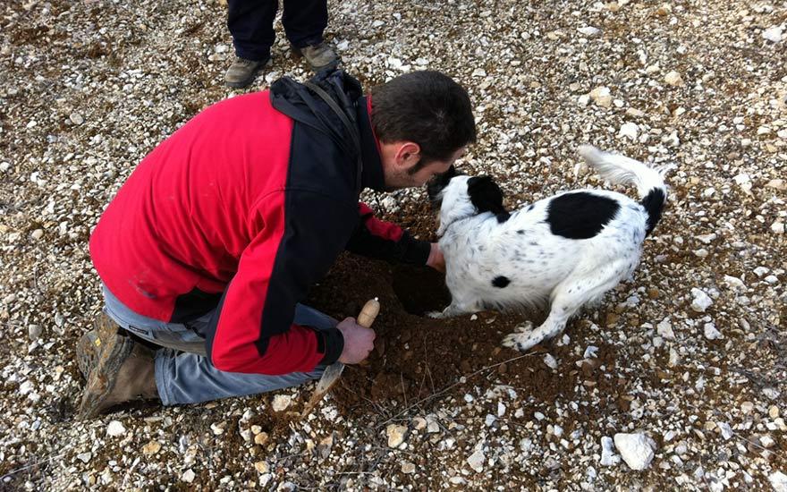Caza de trufa con perros